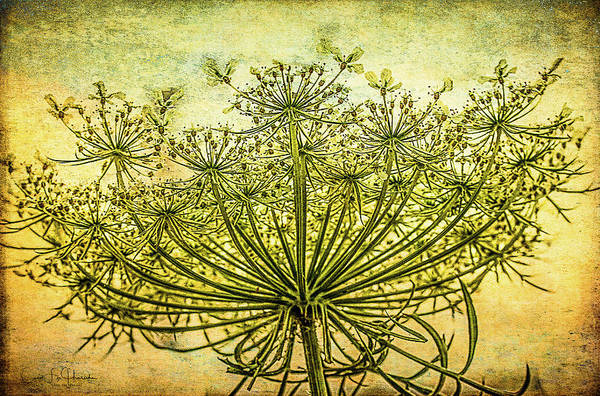 Queen Anne's Lace At Sunrise Poster