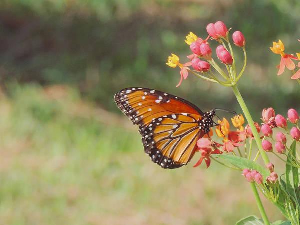 Queen Butterfly On Milkweed Poster