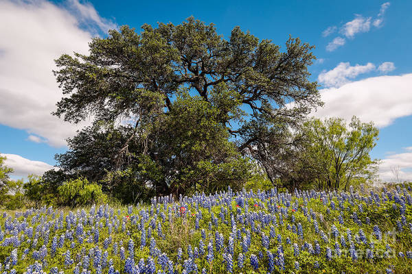 Quintessential Texas Hill Country County Road Bluebonnets And Oak - Llano Poster