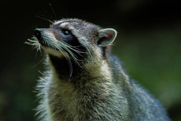 Raccoon 1 Poster