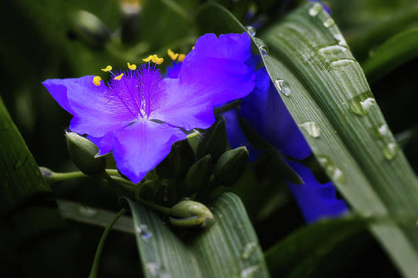 Raindrops On Spiderwort Flowers Poster