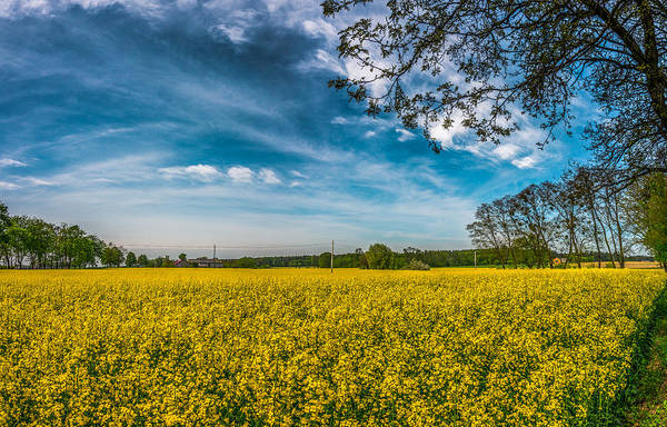 Rapeseed Field Poster