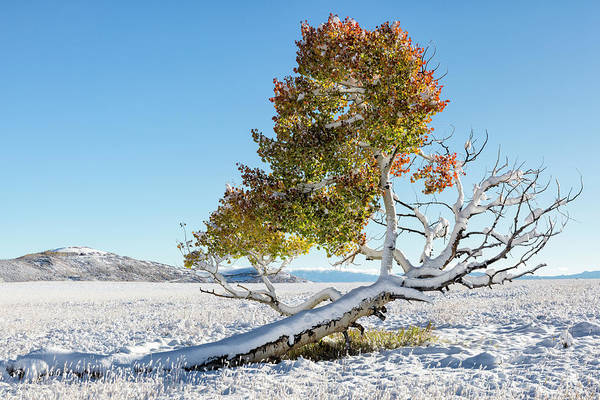 Reclining Tree With Snow Poster