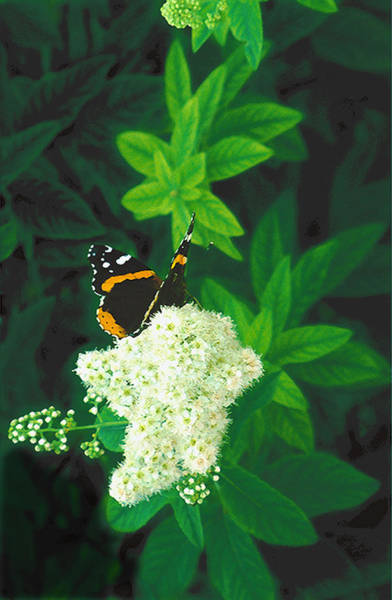 Red Admiral On Spirea Poster