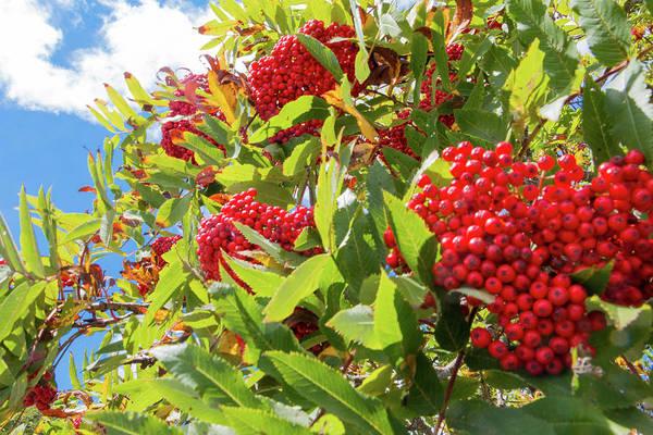 Red Berries, Blue Skies Poster