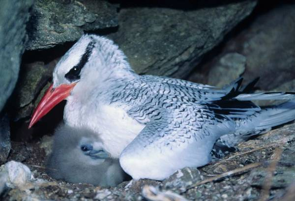 Red-billed Tropicbirds Cuddling  Poster