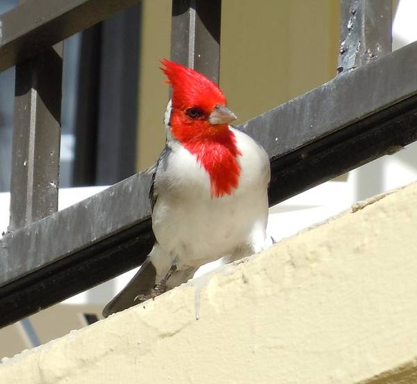 Red-crested Cardinal Posing On The Balcony Poster