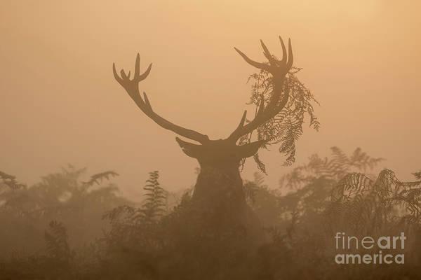 Red Deer Stag Cervus Elaphus Displaying At Sunrise With Bracken On Antlers Poster