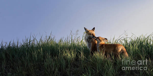 Red Fox Morning Poster