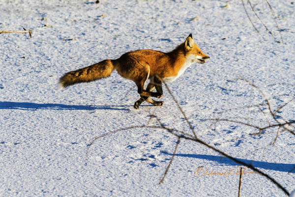 Poster featuring the photograph Red Fox On The Run by Edward Peterson