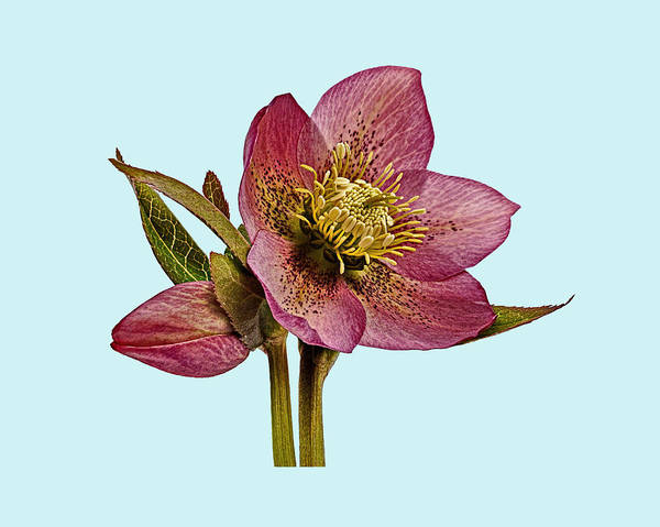 Poster featuring the photograph Red Hellebore Blue Background by Paul Gulliver