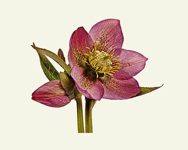 Poster featuring the photograph Red Hellebore Cream Background by Paul Gulliver