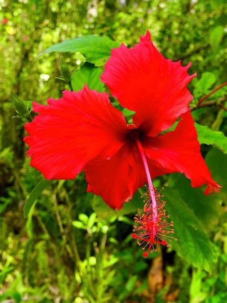 Red Hibiscus In Puna Poster