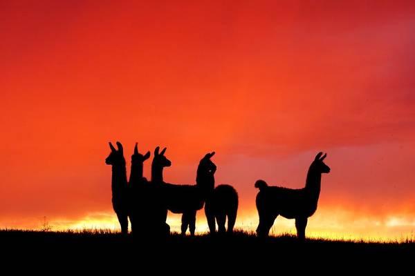 Red Llama Sunset 1 Poster