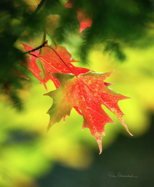 Red Maple Leaves 4983 Poster