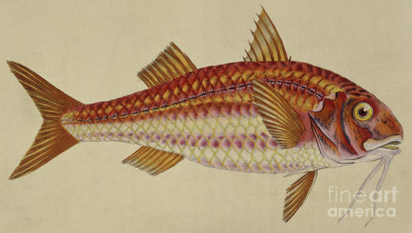 Red Mullet Poster