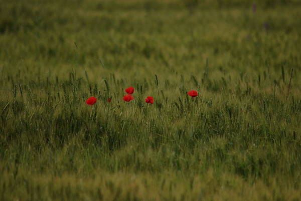 Red Poppies In Meadow Poster