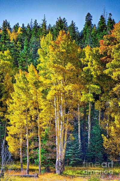 Red River Aspens Poster
