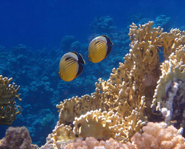 Red Sea Exquisite Butterflyfish  Poster