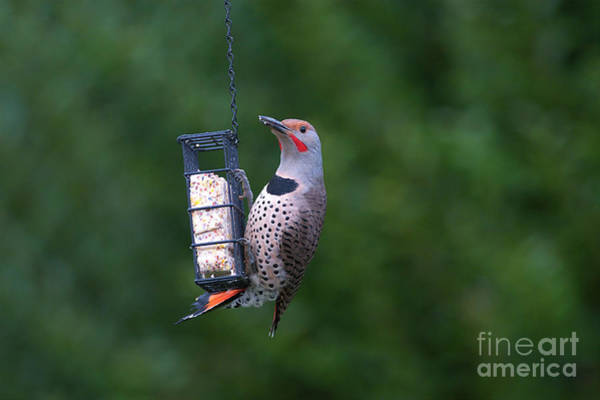 Red-shafted Northern Flicker On Suet Poster