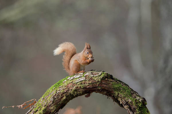 Red Squirrel Eating A Hazelnut Poster