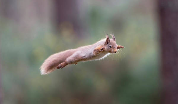 Red Squirrel Leaping Poster