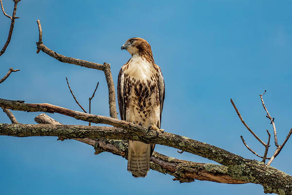 Red Tail Hawk Perched Poster