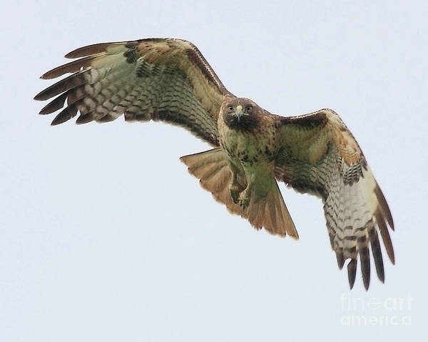 Red Tailed Hawk Finds Its Prey Poster