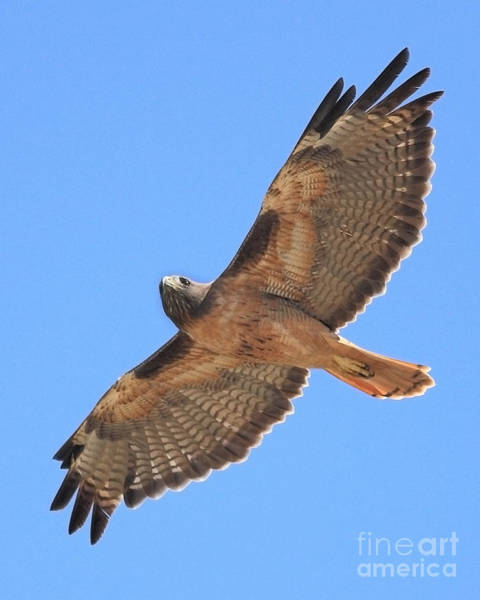 Red Tailed Hawk In Flight Poster