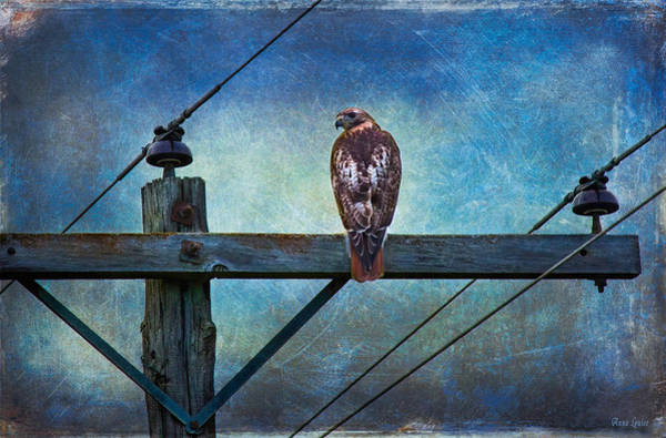 Red-tailed Hawk On Power Pole Poster