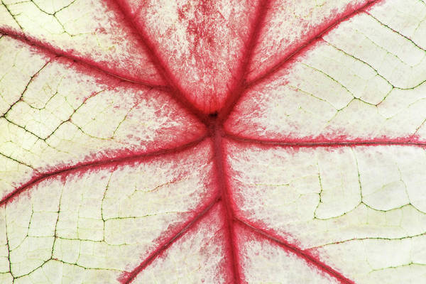 Red Veins Of A Coleus Plant Poster