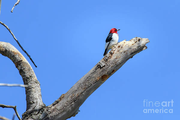 Redheaded Woodpecker On A Dead Tree Poster