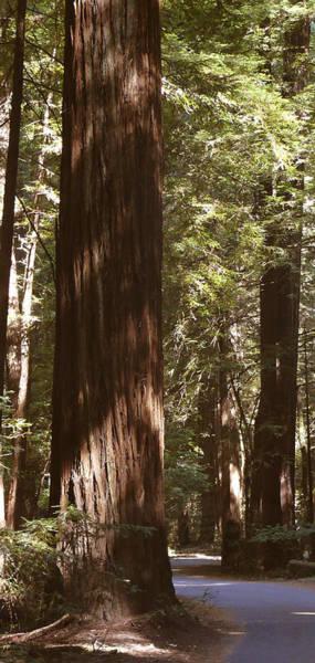 Redwoods Poster