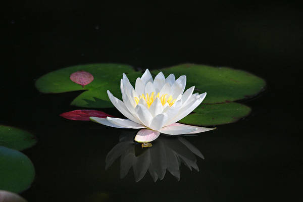 Reflections Of A Water Lily Poster