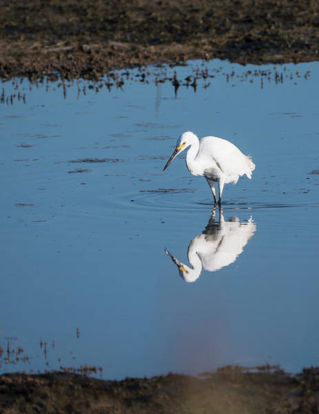 Reflections White Egret Poster