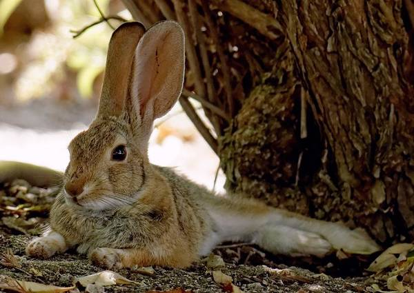 Relaxing Cottontail Poster