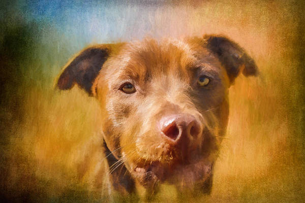 Rescued Chocolate Lab Portrait Poster