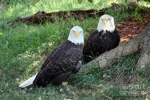 Resting Bald Eagles Poster