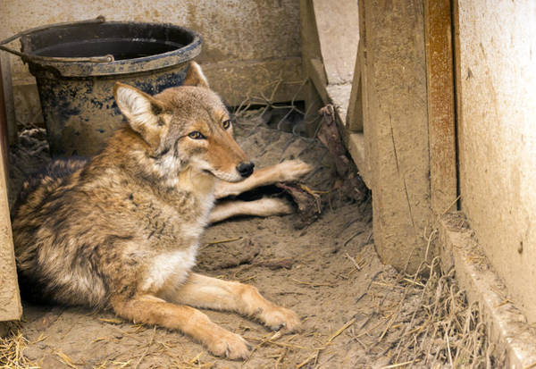 Resting Coyote Poster