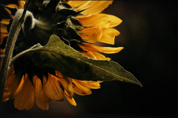 Reticent Sunflower Poster