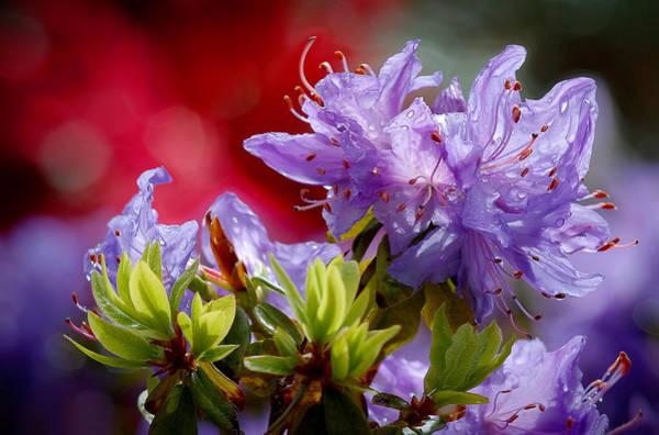 Rhododendron Bluebird Poster