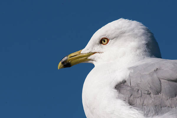 Ring-billed Gull Portrait Poster