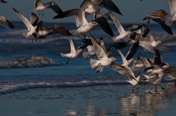 Ring-billed Gulls At Kiawah Island Poster