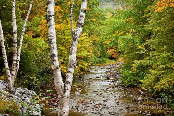 River Birch Poster