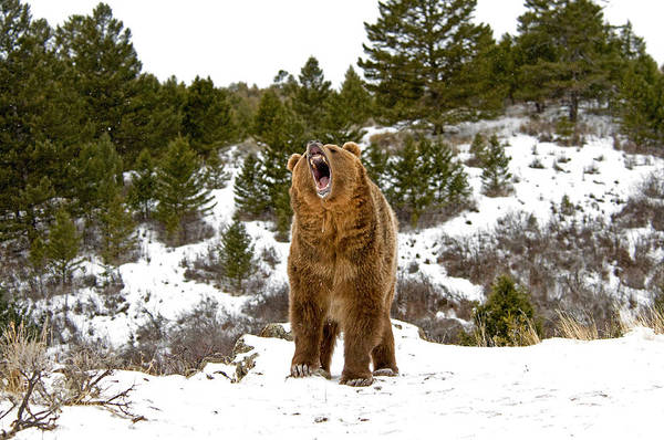 Roaring Grizzly In Winter Poster