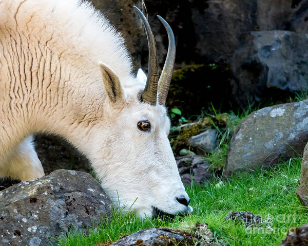 Rocky Mountain Goat Busy Eating Poster