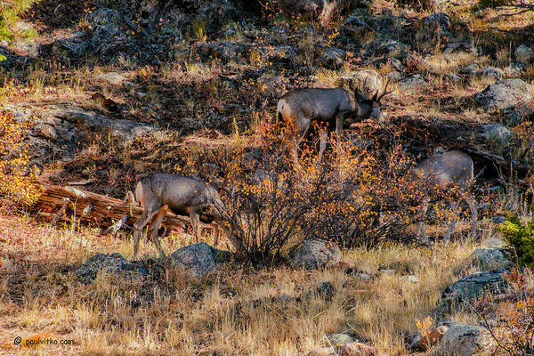 Rocky Mountain National Park Deer Colorado Poster