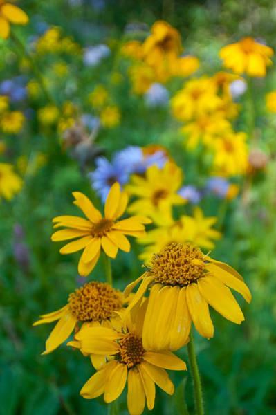 Rocky Mountain Wildflowers Poster