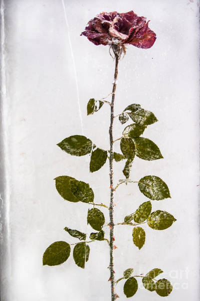 Poster featuring the photograph Rose Frozen Inside Ice by John Wadleigh