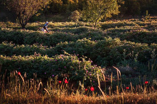 Rose Harvest Poster